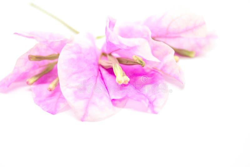 Belles fleurs de bouganvillée sur le fond blanc image stock