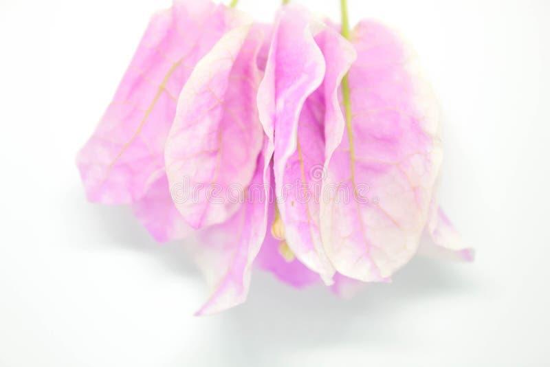 Belles fleurs de bouganvillée sur le fond blanc photographie stock