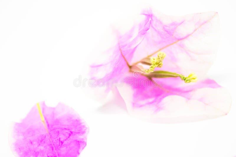 Belles fleurs de bouganvillée sur le fond blanc photographie stock libre de droits