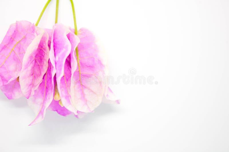 Belles fleurs de bouganvillée sur le fond blanc photo libre de droits