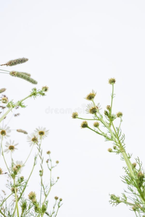 Belles fleurs de camomille sauvage dans le pré sur le fond gris de ciel Nature sauvage d'?t? photographie stock libre de droits