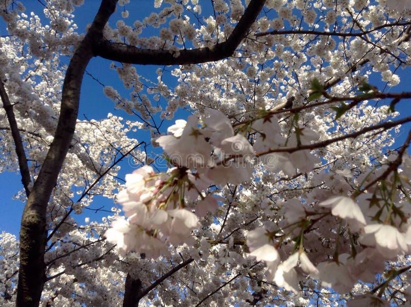 Belles fleurs de cerisier photographie stock libre de droits