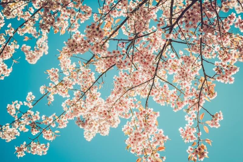 Belles fleurs de cerisier de fleur d'arbre de Sakura de vintage au printemps sur le fond de ciel bleu photos libres de droits