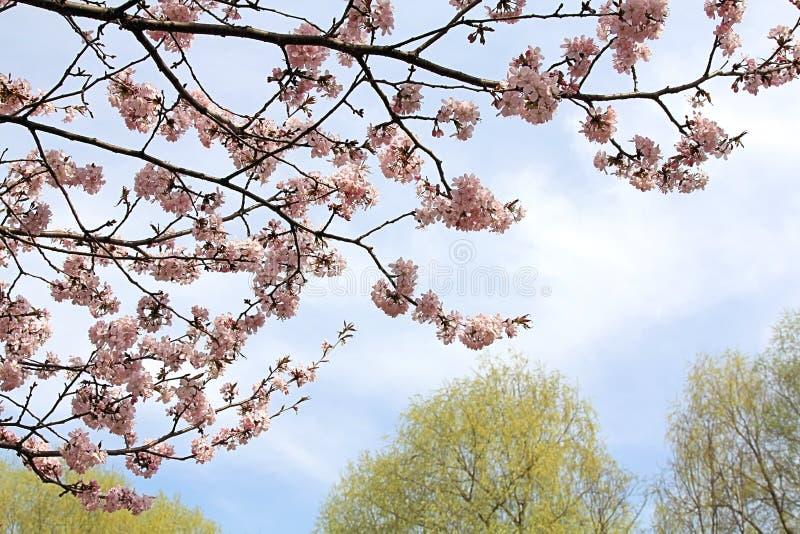 Belles fleurs de cerisier de floraison, qui enseigne notre monde de l'amour, de la patience et de la qualité photo stock