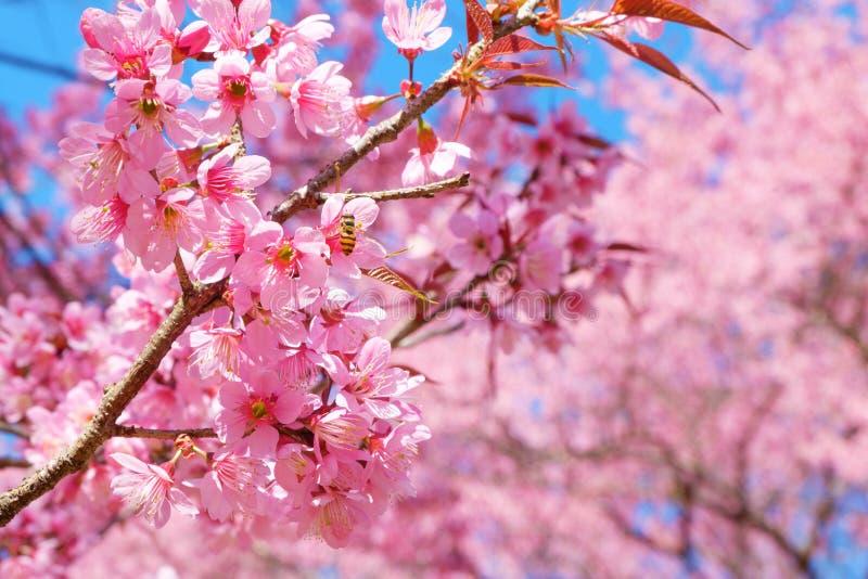 Belles fleurs de cerisier roses au printemps photos libres de droits
