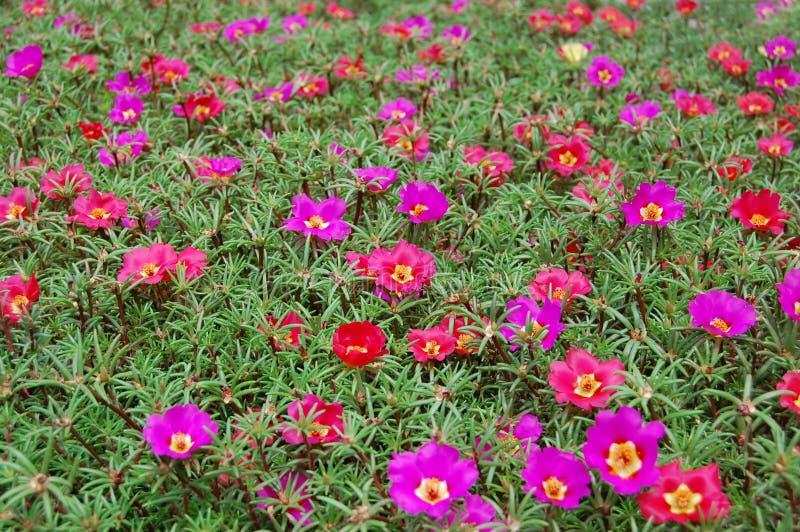Belles fleurs de cloche pourprées Portulaca grandiflora photographie stock