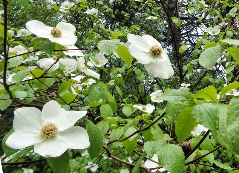 Belles fleurs de cornouiller sous la pluie -2 photographie stock libre de droits