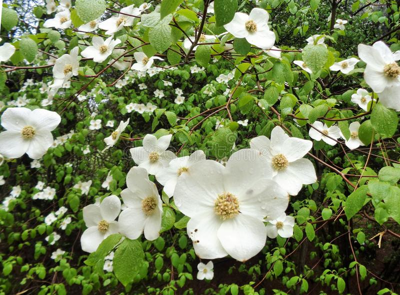 Belles fleurs de cornouiller sous la pluie image libre de droits