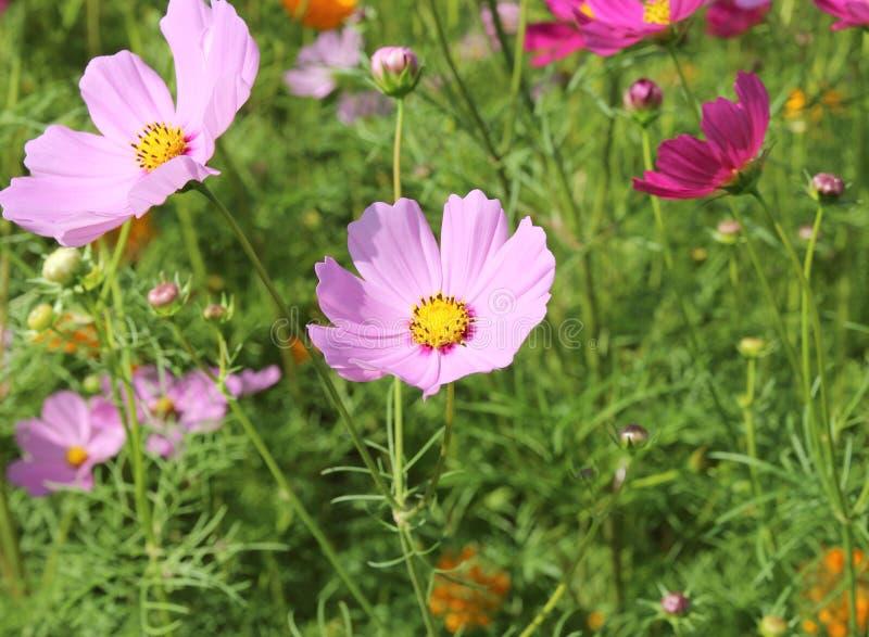 Belles fleurs de cosmos fleurissant dans le jardin photo for Fleurs dans le jardin