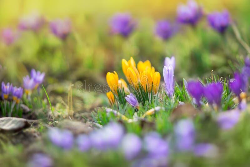 Belles fleurs de crosus image libre de droits