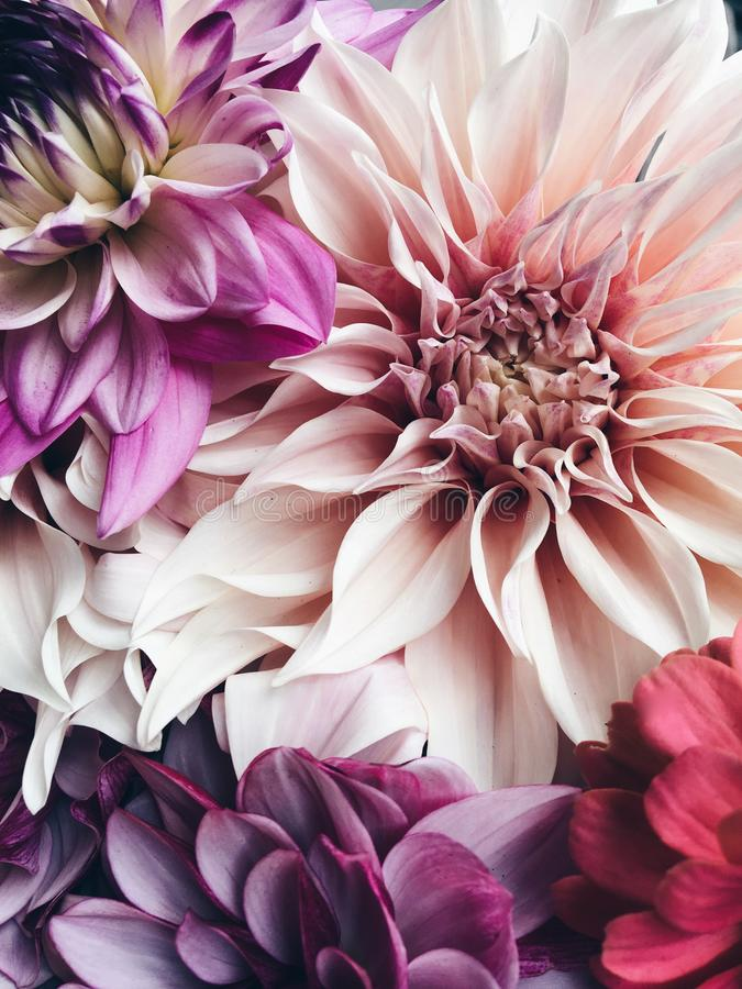 Belles fleurs de fleur de dahlia images libres de droits