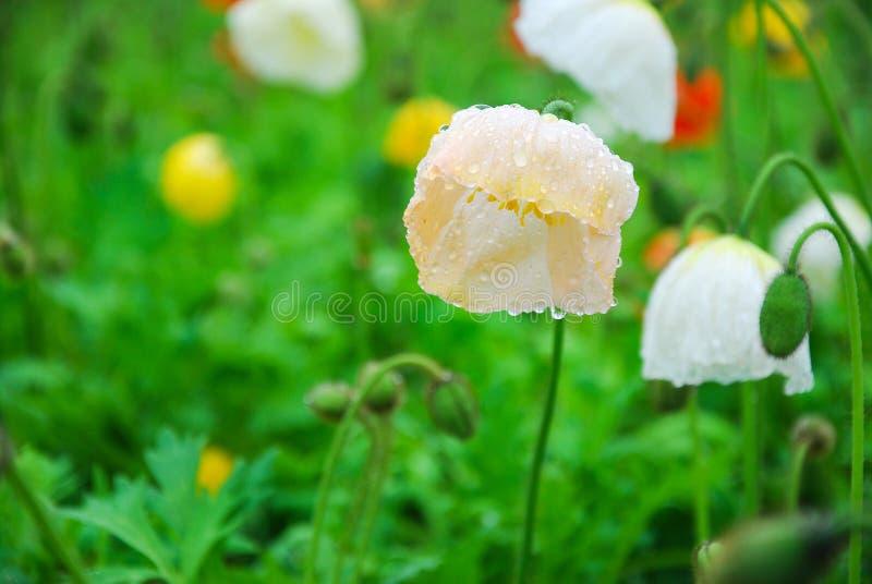 Belles fleurs de floraison de pavot de maïs images stock