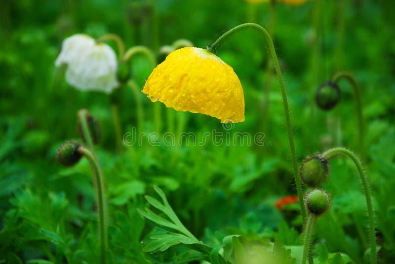 Belles fleurs de floraison de pavot de maïs images libres de droits
