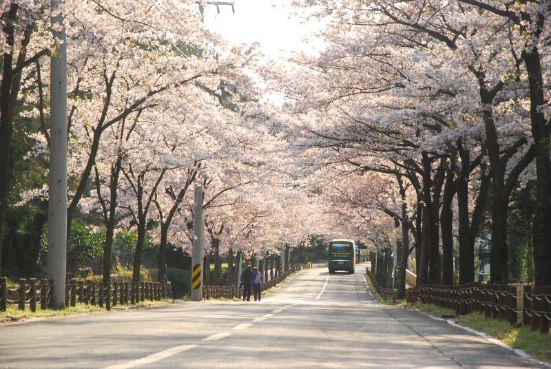 Belles fleurs de floraison de Sakura image stock