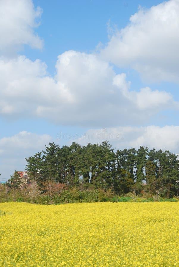 Belles fleurs de floraison de viol et ciel bleu au printemps images libres de droits