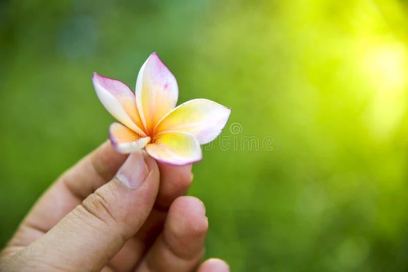 Belles fleurs de frangipani fleurissant dans la main se tenant dans le jardin vert luxuriant image stock