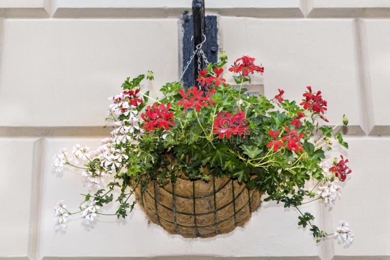 Belles fleurs de géranium dans un panier accrochant photos stock