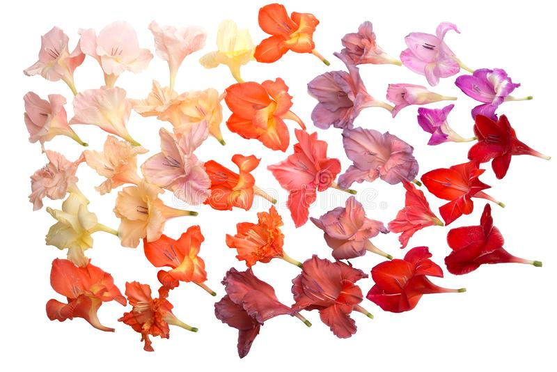 belles fleurs de glaïeul de collection d'isolement sur le blanc image stock