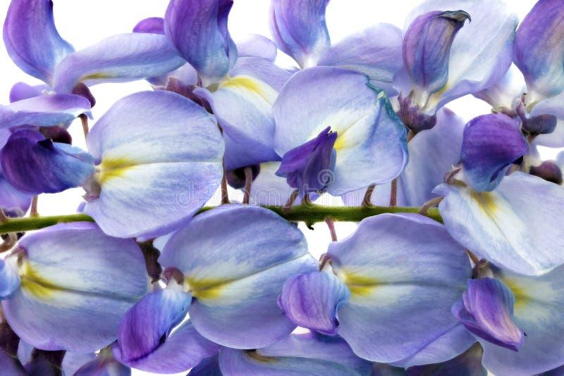 Belles fleurs de glycine. Sur le fond blanc image libre de droits