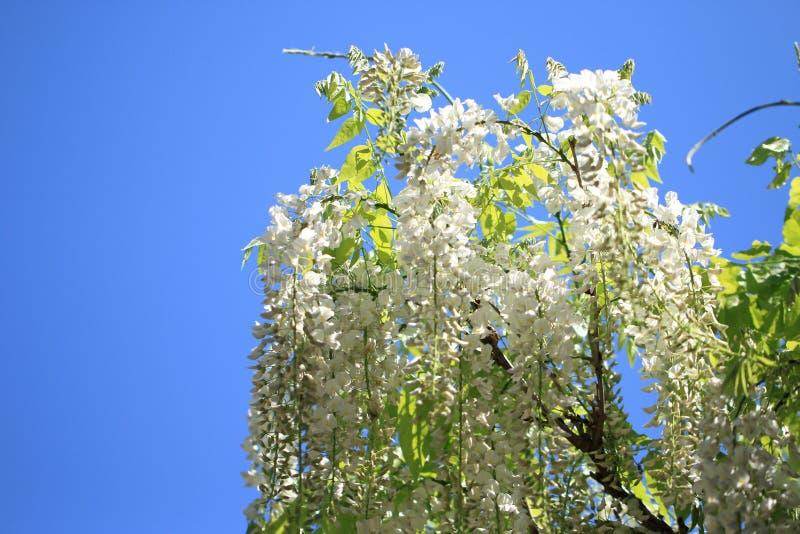 Belles fleurs de glycines photographie stock libre de droits