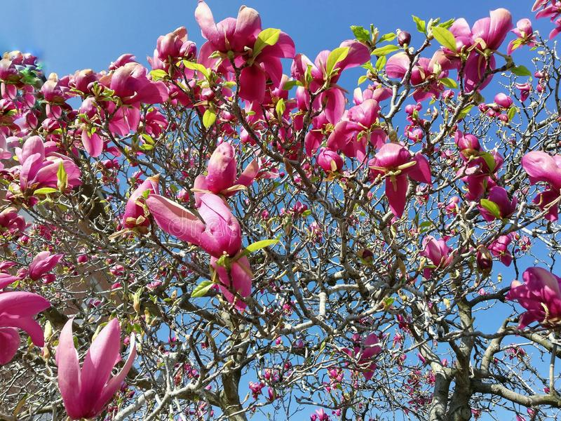 Belles fleurs de la magnolia en premier ressort photo stock