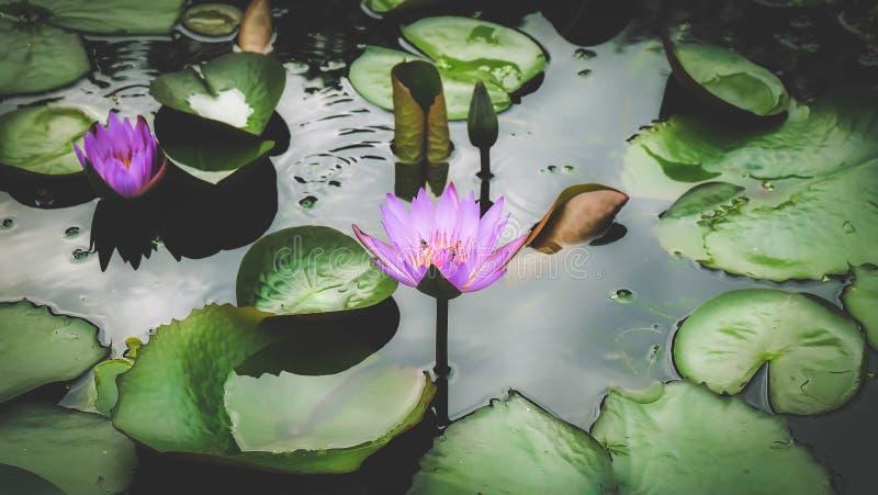 Belles fleurs de lotus dans le jardin photographie stock
