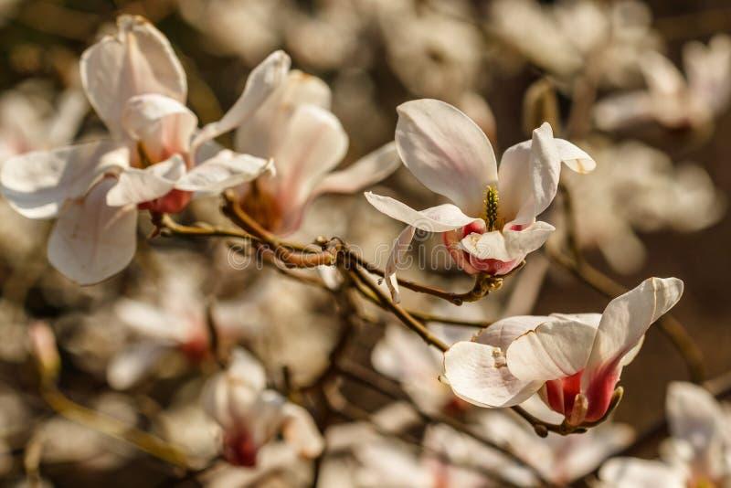 Belles fleurs de magnolia avec des gouttelettes d'eau photographie stock libre de droits