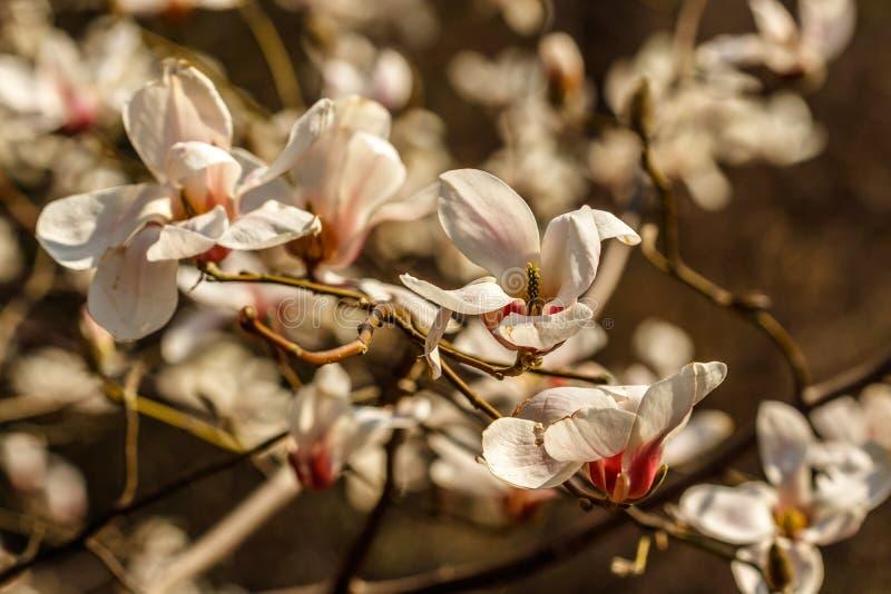 Belles fleurs de magnolia avec des gouttelettes d'eau photo stock