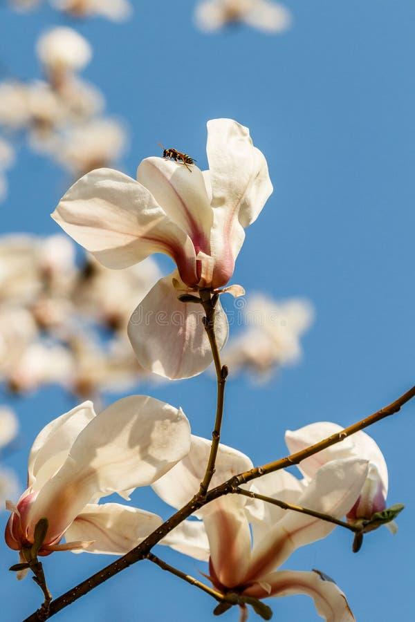 Belles fleurs de magnolia avec des gouttelettes d'eau image libre de droits