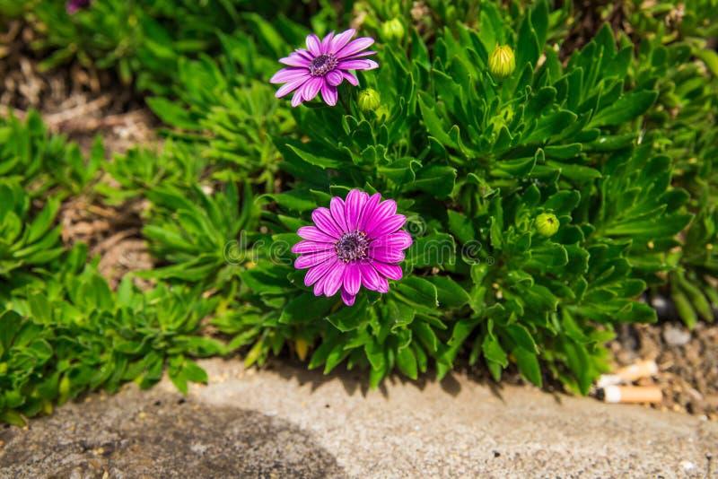 Belles fleurs de marguerite africaine sur les buissons usines exceptionnellement belles Fleurs de Purples de roses photographie stock libre de droits