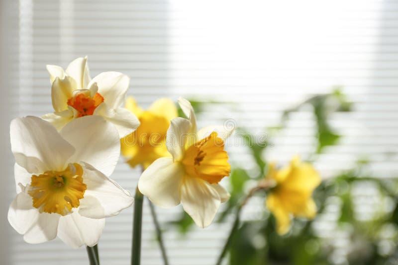 Belles fleurs de narcisse et vue brouill?e de fen?tre avec des abat-jour sur le fond image stock