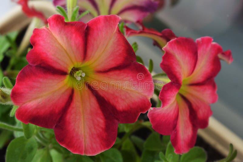 Belles fleurs de pétunia avec les pétales sensibles Image de plan rapproché image libre de droits