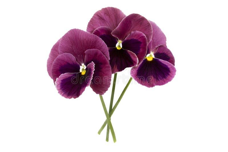 Belles fleurs de pensée d'isolement sur le fond blanc photos stock