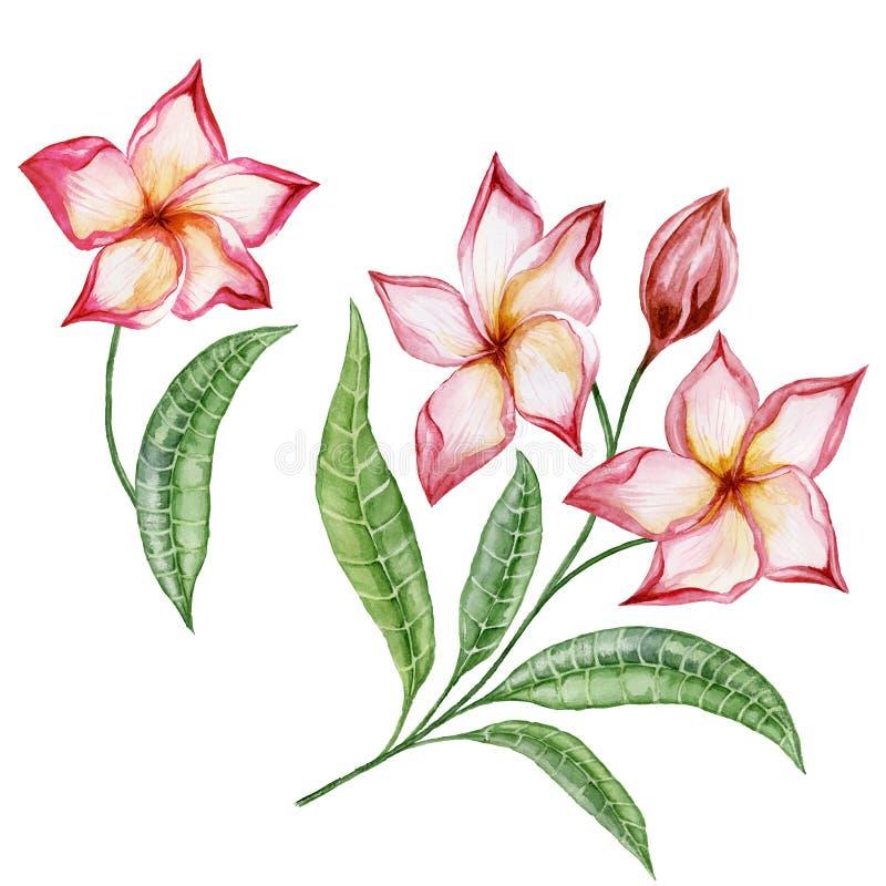 Belles fleurs de plumeria avec les feuilles exotiques Ensemble floral tropical D'isolement sur le fond blanc Peinture d'aquarelle illustration libre de droits