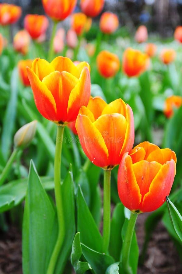 Belles fleurs de source. photo stock