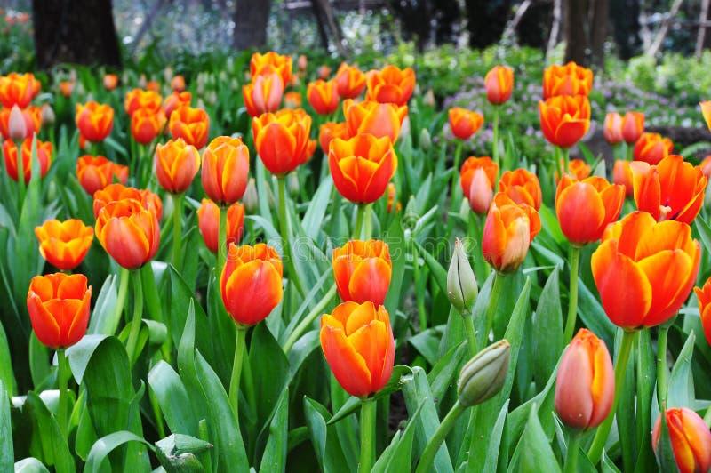 Belles fleurs de source. photos stock