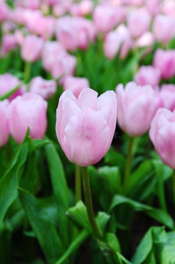 Belles fleurs de source. photos libres de droits
