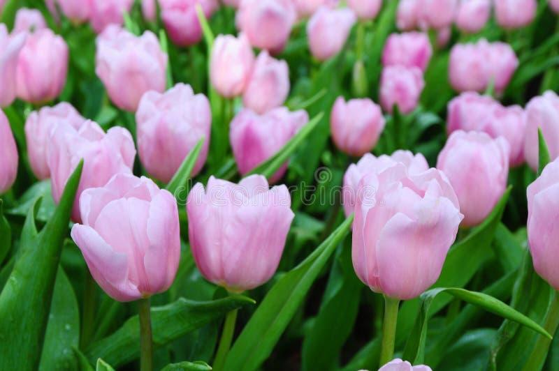 Belles fleurs de source. photo libre de droits