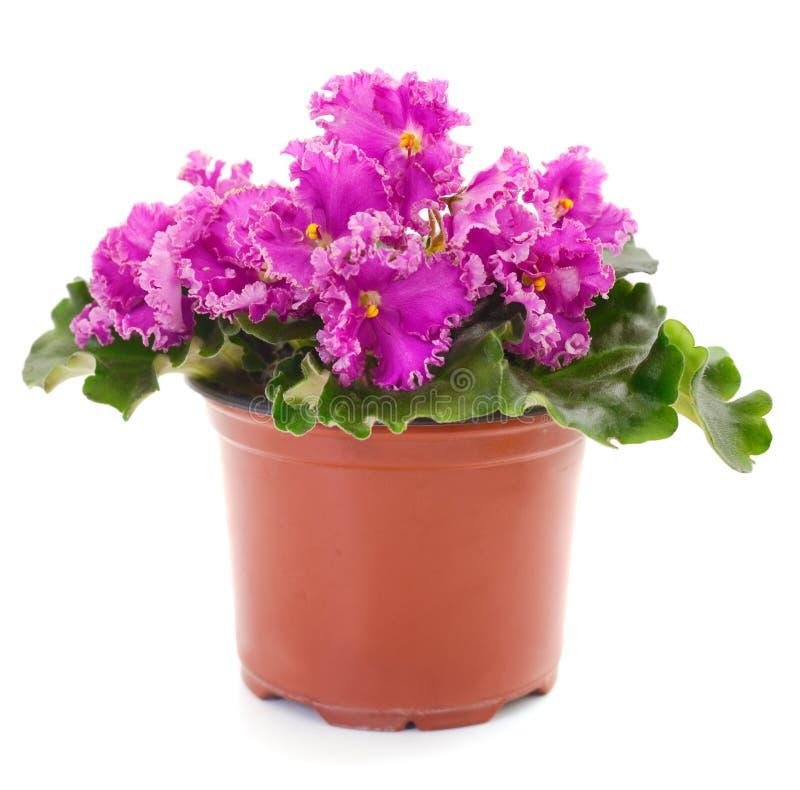 Belles fleurs de violettes image stock
