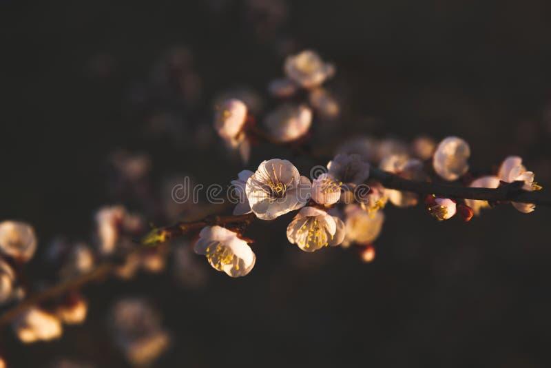 Belles fleurs des cerises photo libre de droits