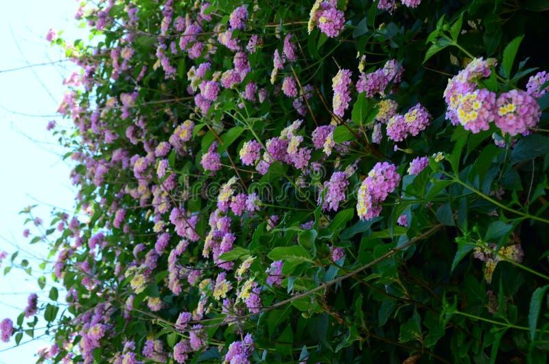 Belles fleurs douces de lantana sur la côte méditerranéenne en Turquie photographie stock