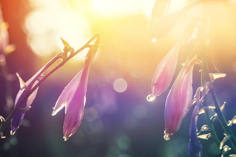 Belles fleurs en gros plan de hosta avec des baisses de rosée ou de pluie contre le contre-jour du soleil de matin Coucher du sol photo stock