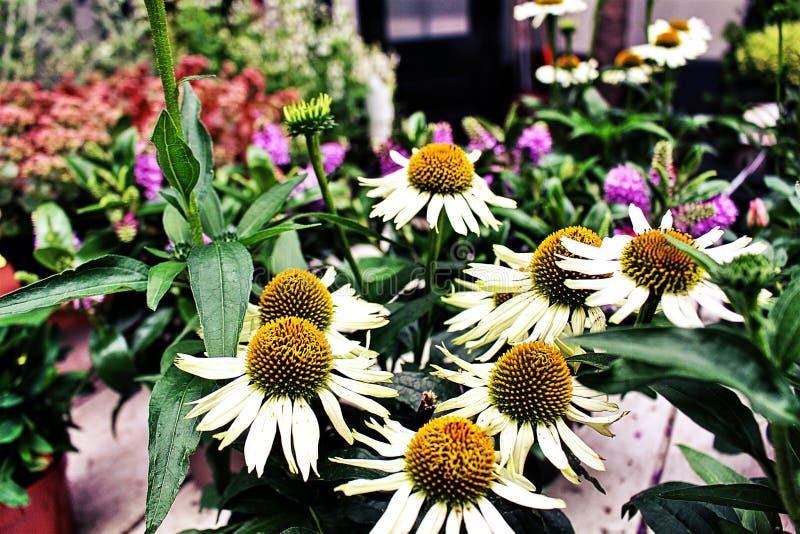 Belles fleurs en Hollande photo libre de droits