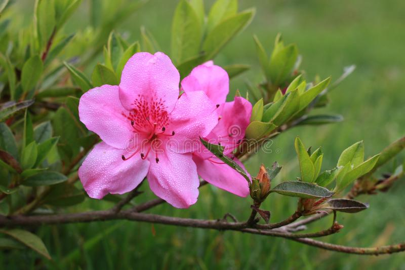 Belles fleurs en Indonésie photographie stock