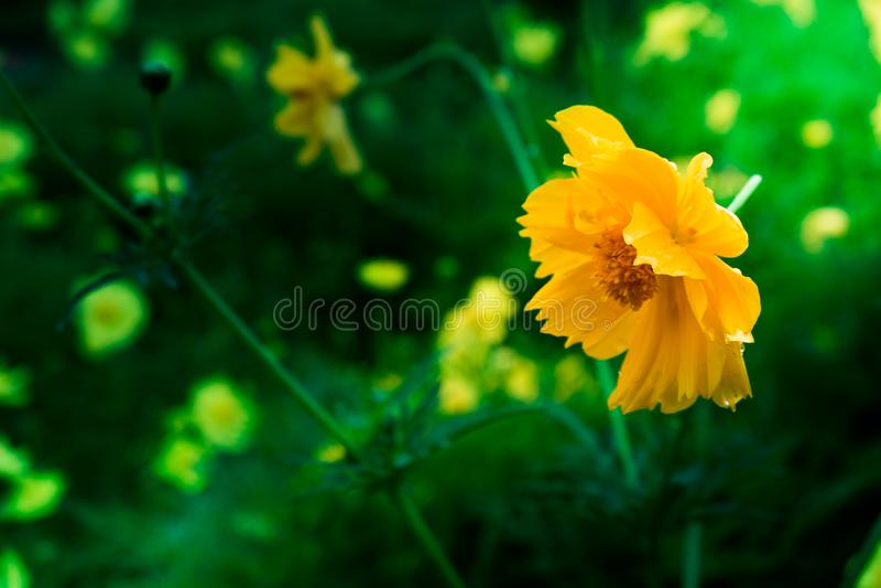 Belles fleurs jaunes dans le jardin image stock
