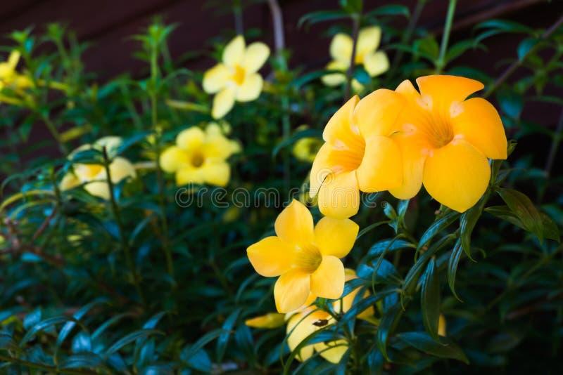 Belles fleurs jaunes dans le jardin photos libres de droits