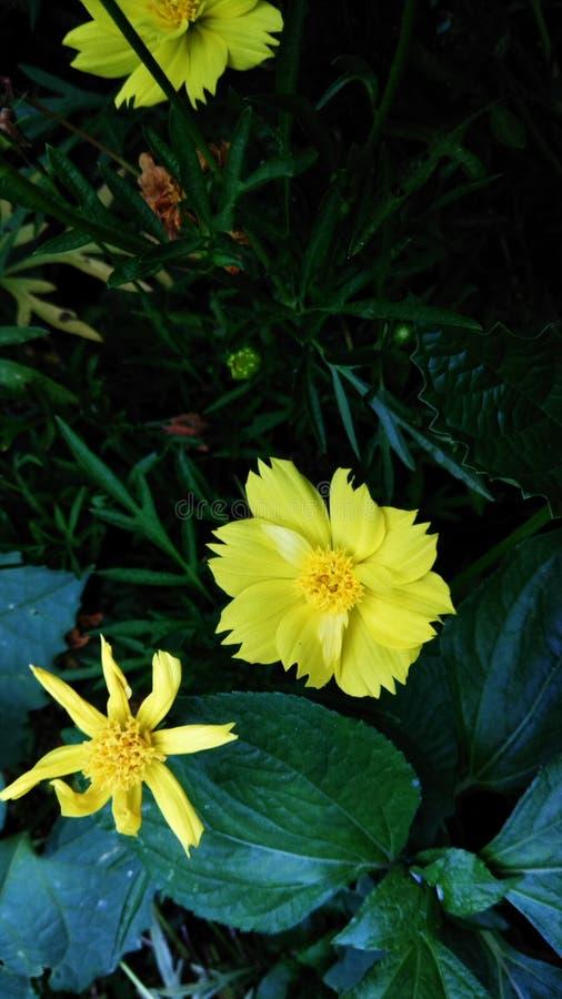 Belles fleurs jaunes dans le jardin images libres de droits