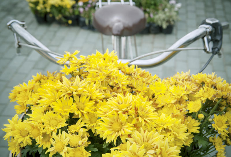 Belles fleurs jaunes de chrysanthème décorées devant le BIC image stock