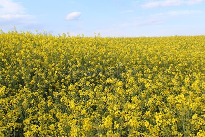 Belles fleurs jaunes de grande couleur et du grand arome images libres de droits