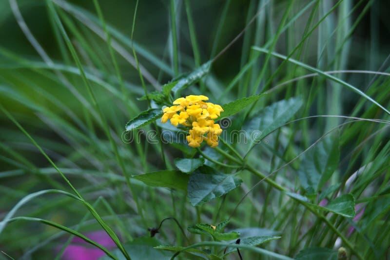Belles fleurs jaunes en fleur image libre de droits